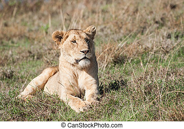 Lioness lying in green grass - A fully grown lioness is...