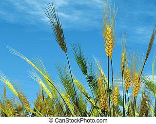 trigo, cielo, Plano de fondo