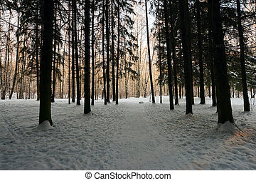 sunlight rays in winter forest - sunlight rays in fir winter...