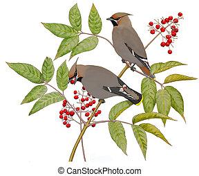 Bohemian Waxwings on Elderberry - Bohemian Waxwings...