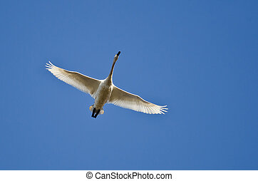 Lone Tundra Swan Flying in a Blue Sky
