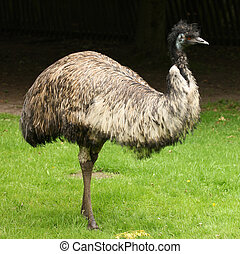 Emu - Portrait of an Emu