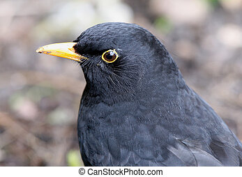 Blackbird - Close up of a Male Blackbird