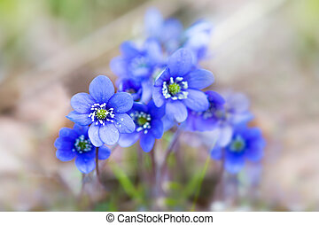 purple liverwort flowers - Close up of bunch of blue or...