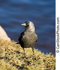 jackdaw on the bank of a pond in a sunny day