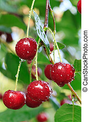 twig of cherry-tree with red cherries and dew. Composite...