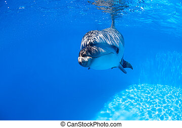 Dolphin swims under the water and looking at the camera