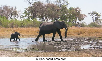 African elephant baby following its mother in the waterhole