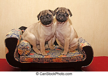 Little Pugs sitting on a sofa - Pugs sitting on a sofa 10...