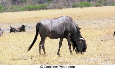 Wildebeest feeding in savanna, gnu, motiona image