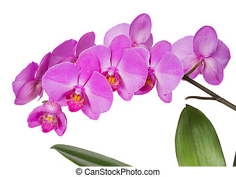 Orchids flowers - Purple orchid flowers isolated on black...