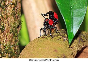 Mating weevils Madagascar - Madagascar weevil prec Cybebus...