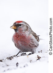 Portrait of redpoll Carduelis flammea
