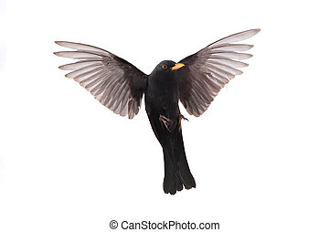 blackbird - turdus merula - a blackbird in flight isolated...