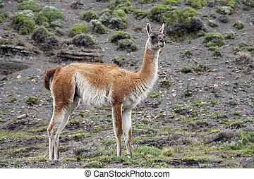 Guanaco - Lama guanicoe - Torres del Paine - Patagonia -...