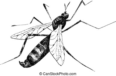 detailed mosquito pencil drawing style, vector