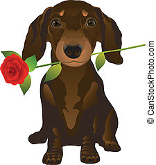 dachshund - puppy of the dachshund with a rose