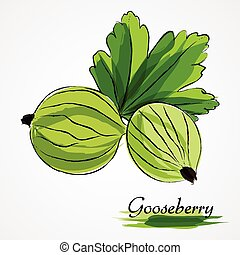 Gooseberry - Hand drawn vector ripe green gooseberry fruits...