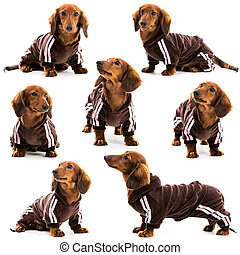 dachshund in a sports suit - photo collage dachshund in a...