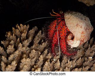 Hermit crab at Night Great Barrier Reef Australia - Hermit...