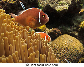 Red Clown Fish on Great Barrier Reef - Two Clown Fish on...