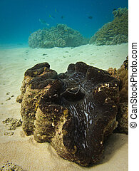 Giant Giant Clam Great Barrier Reef Australia
