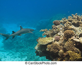 Whiote tip Shark on Great Barrier Reef - White tip Shark...