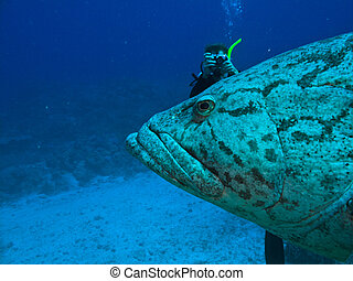 Diver and Giant Potato cod Epinephelus tukula Great Barrier...