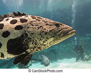 Giant Potato cod (Epinephelus tukula) Great Barrier Reef...