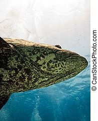 Giant Potato cod (Epinephelus tukula) Great Barrier Reef Australia