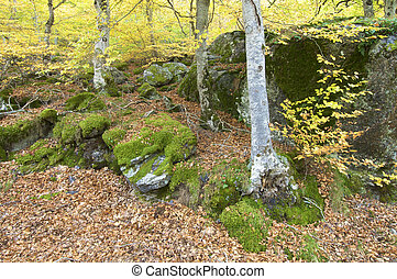 beech forest in autumn, Moncayo natural park, saragossa,...