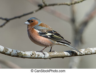 Mr Chaffinch - The beautiful male Chaffinch Fringilla...