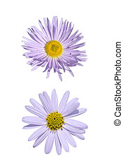 Two purple asteraceae - Close-up of two purple asteraceae...
