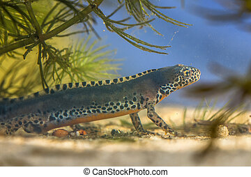 Male Submersed Alpine Newt in pool - Wild Alpine Newt,...