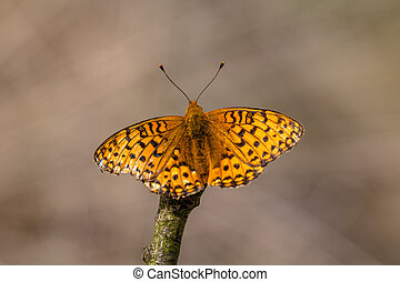 Dark Green Fritillary Argynnis aglaja Butterfly - The Dark...