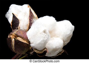 Cotton Bolls - The fluffy bolls of the cotton plant