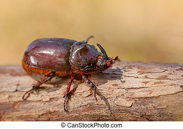 South European Rhinoceros Beetle - European Rhinoceros...