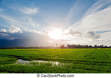 picturesque field with sunflare - picturesque green rice...