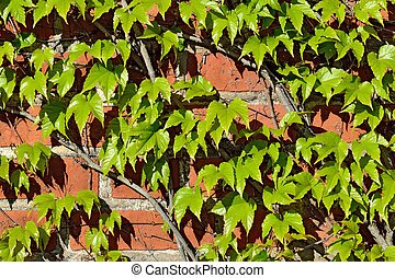 Wild grapes on old brick wall - Parthenocissus tricuspidata...