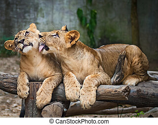 Lions - Two young Lions playing