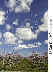 Dramatic clouds of a blooming peach orchard - Long row of...