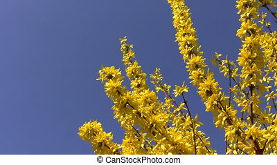 Yellow spring flowers isolated blue