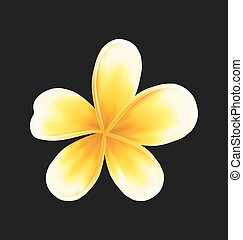 Frangipani flower (plumeria) isolated on dark background