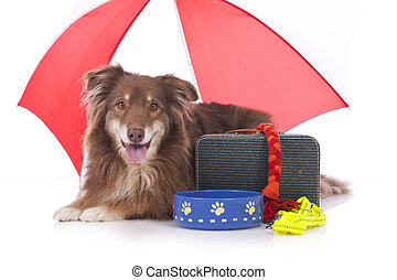 Australian shepherd dog with travel kit isolated