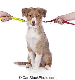 Australian shepherd puppy on a leash