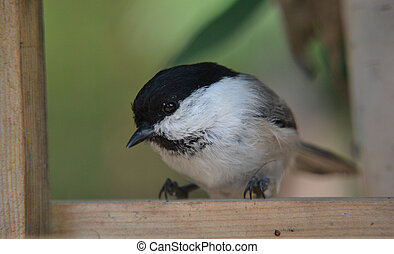 Titmouse - titmouse on branches