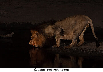 Male Lion drinking water at sunset in the greater kruger...