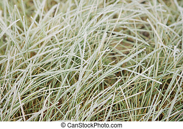 Grass with frost.
