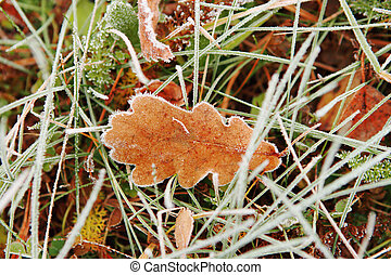 Oak tree\'s leaf covered with frost.