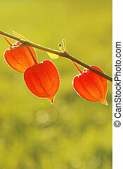Chinese Lanterns, Physalis alkekengi - Autumn background...
